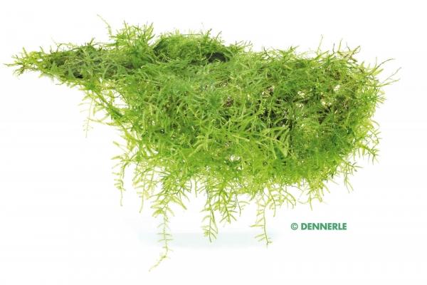 Javamoos - Taxiphyllum barbieri - 9 x 9 cm - Dennerle Pad