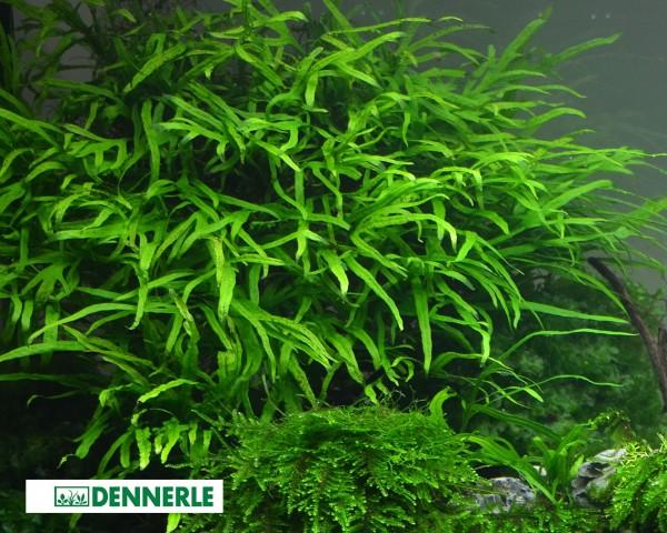 "Javafarn ""Trident"" - Microsorum pteropus Trident - Dennerle Topf"