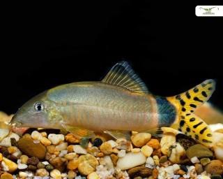 Prächtige Prachtschmerle - Yasuhikotakia splendida - EU/NZ 4-6cm