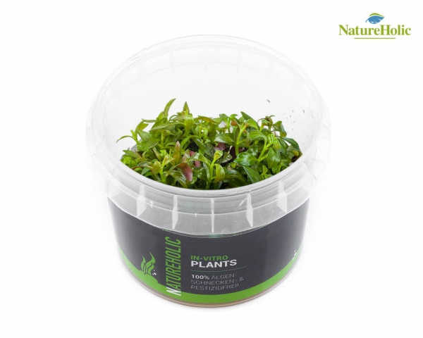 Ludwigia so. Atlantis - NatureHolic InVitro