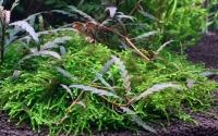 Fiederspaltiger Wasserfreund - Hygrophila pinnatifida and moss - Tropica Pflanze auf Wurzeln