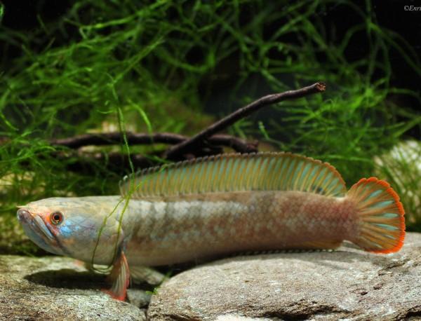 Zwergschlangenkopffisch - Channa gachua blue bengalen - DNZ 8-10cm
