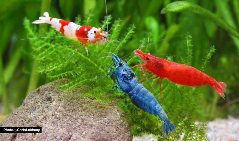 Blueboltshrimp_redbeeshrimp_sakurashrimp
