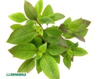 Kirschblättriger Wasserfreund - Hygrophila corymbosa - Dennerle Topf