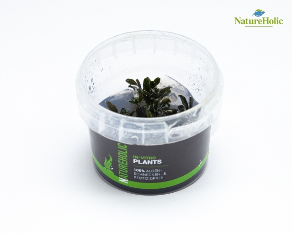 Bucephalandra red mini - NatureHolic InVitro