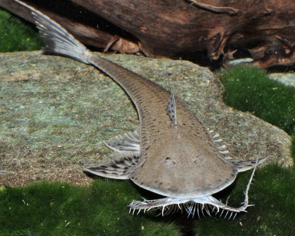 Rundkopf-Flunderharnischwels - Planiloricaria cryptodon 8cm