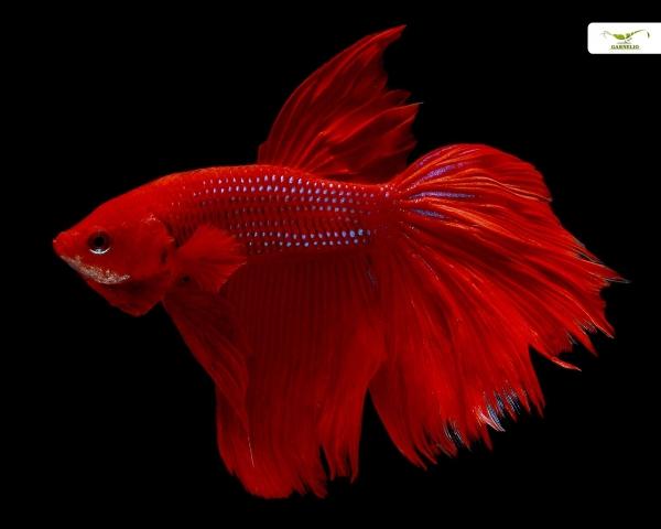 """Kampffisch männlich """"Rot"""" xl"""