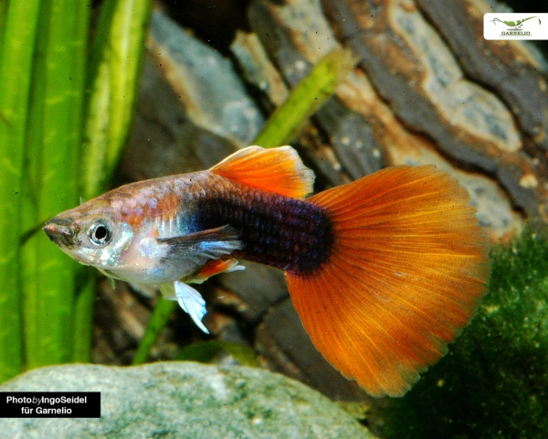 "Guppy männlich ""rot tuxedo"" - Poecilia reticulata"