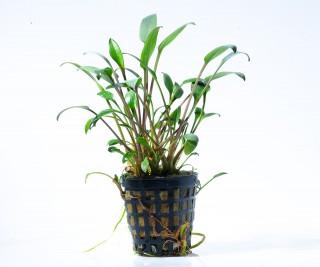 Cryptocoryne lucens - NatureHolic Plant