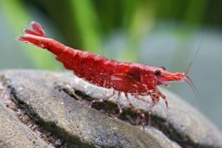 Red Cherry Garnele - Red Fire Garnele - Neocardina davidi
