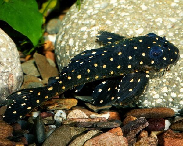 L201 - Orinoco-Engelsharnischwels - Hypancistrus sp. 6cm