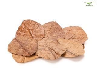 Seemandelbaum Blätter / Catappa Blätter - medium - 10 Stk