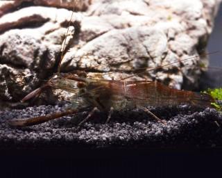 Schokogarnele, Macrobrachium dayanum