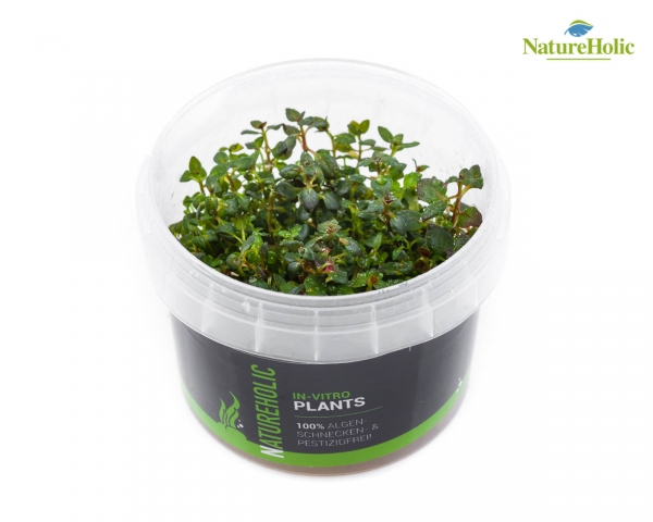 Ludwigia repens Mini super Red - NatureHolic InVitro