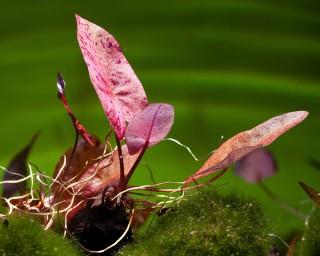 Roter Tigerlotus - Nymphaea lotus rubra