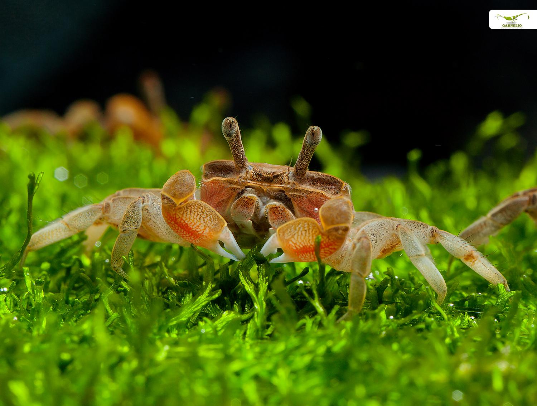 Zwergkrabben aus Hongkong fürs Aquarium oder Terrarium