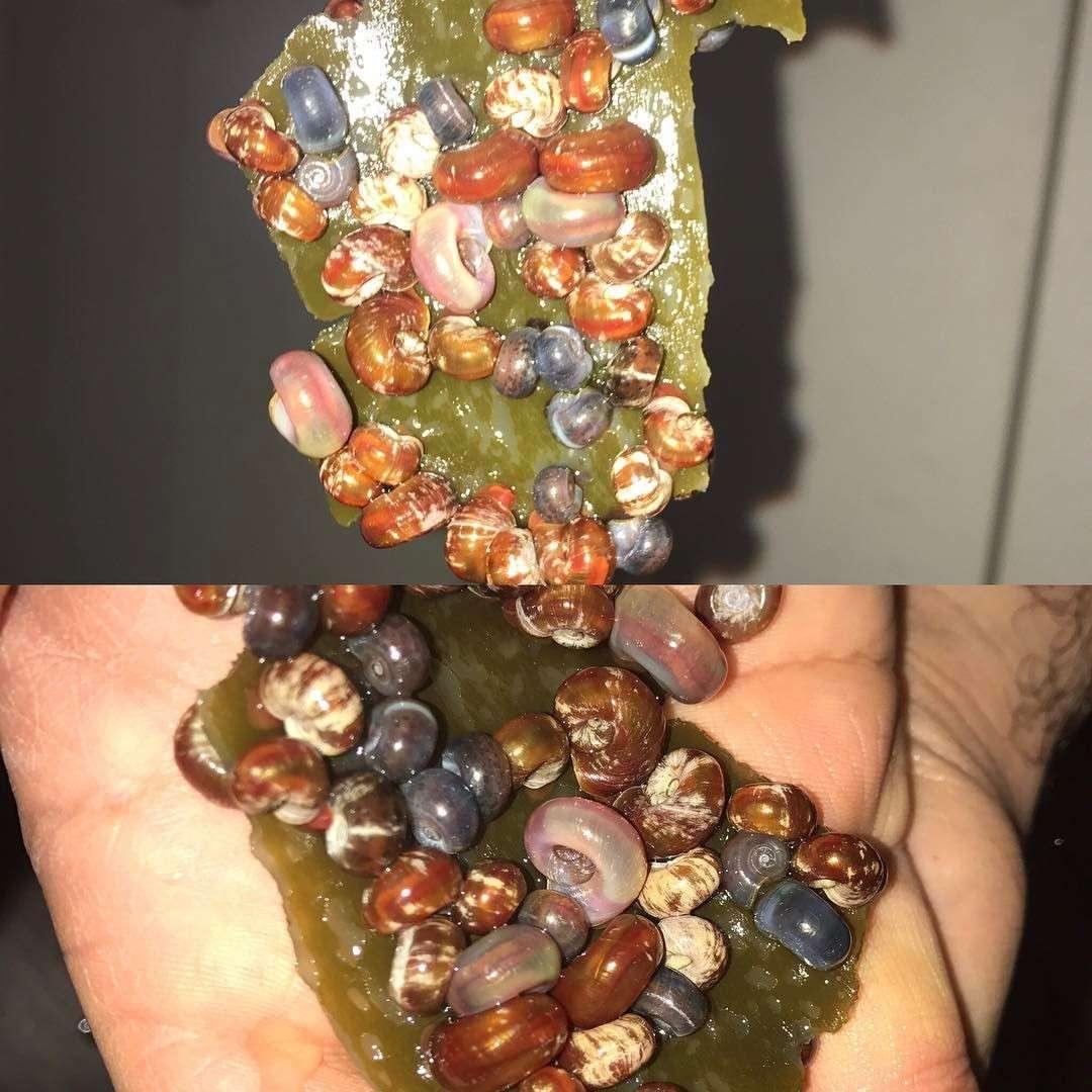 5x Algen Platte