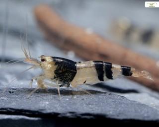 Bienengarnele Wildform - Caridina logemanii var.