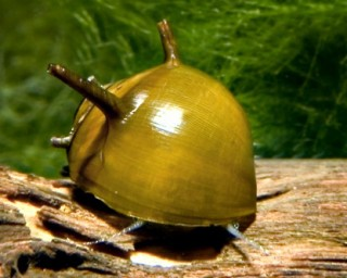 Grüne Geweihschnecke - Clithon corona