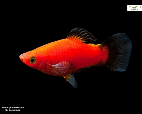 "Platy ""rot wagtail "" - Xiphophorus maculatus"