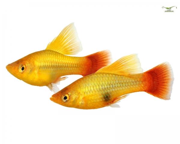 "Papageienplaty ""Hochflosse"" - Xiphophorus variatus"