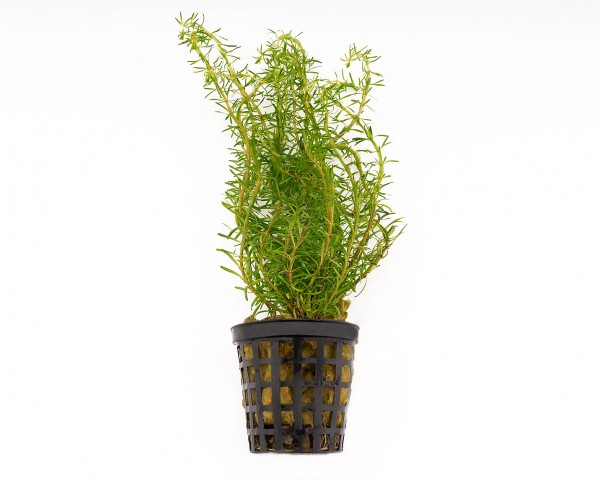 Feinblättrige Rotala - Rotala wallichii - NatureHolic Plants - Topf