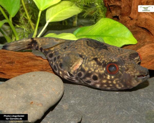 Echter Palembang Kugelfisch - Tetraodon palembangensis