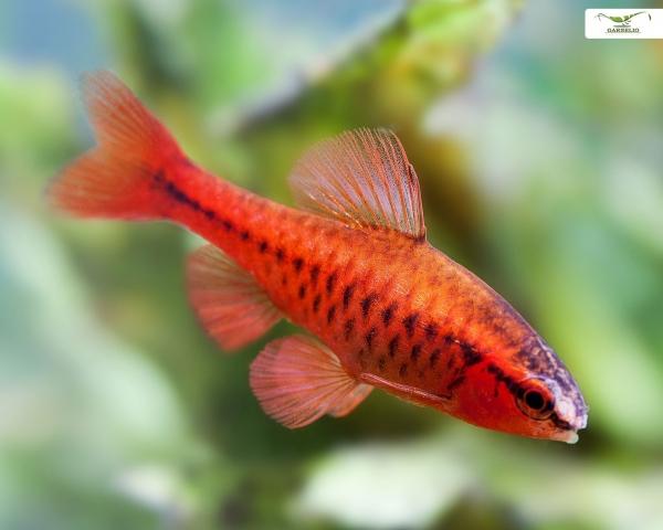 Bitterlingsbarbe - Puntius titteya - DNZ / kräftige Färbung / Barbus titteya