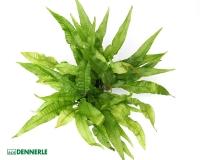 Javafarn - Microsorum pteropus, XXL 9x9cm Topf - Dennerle Topf