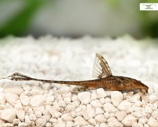 Hexenwels - Rineloricaria fallax - 8-10cm