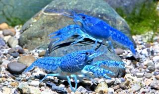 Blauer Floridakrebs - Procambarus alleni - 1-2 cm - DNZ