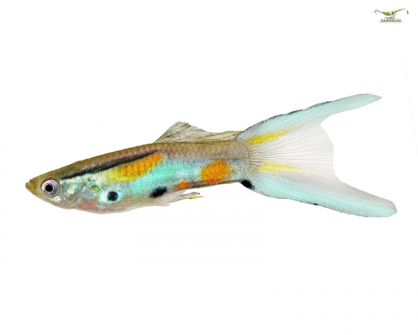 "Endler Guppy ""Japan blue mix"" - Poecilia wingei"