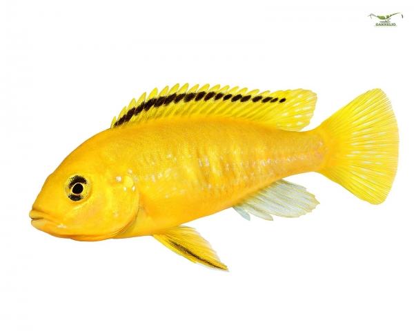 "2 x Gelber Labidochromis ""Yellow"" - Labidochromis caeruleus - Pärchen"