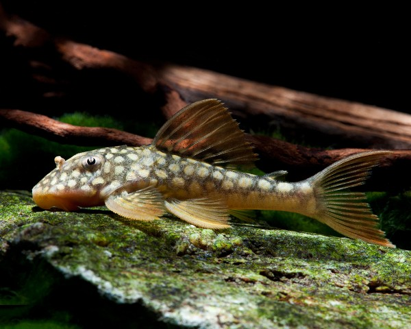 L14 - Sonnenwels - Scobinancistrus aureatus - 8cm
