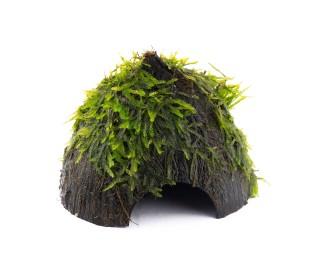 Angewachsenes Christmasmoos auf Kokosnuss Schale