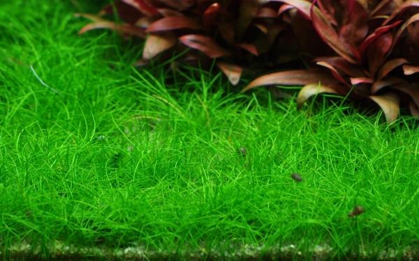 1-2-GROW! Bonsai-Nadelsimse / Eleocharis acicularis 'mini'