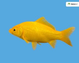 Goldfisch gelb - Carassius auratus auratus