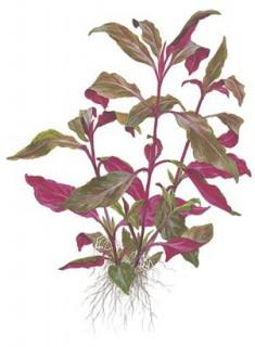 Lilablättriges Papageienblatt - Alternanthera lilacina - Topf