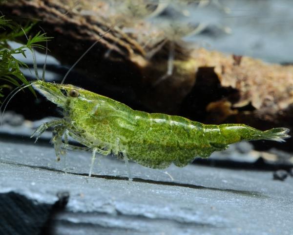 """Green Jade Garnele - Neocaridina davidi """"Green Jade"""""""