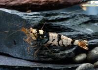 Schwarze Tigerbienengarnele, Tibee - Caridina logemanni / mariae
