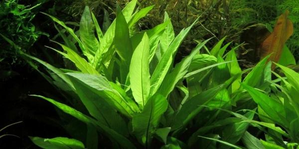 """Thailändischer Wasserfreund - Hygrophila corymbosa """"Siamensis"""" - Tropica Topf"""