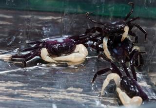 Weißscheren Krabbe, Lepidothelphusa cognetti