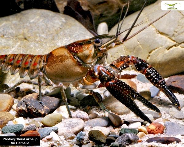 Procambarus spiculifer