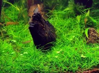 Mini Nadelsimse Aquascape Pad - Eleocharis Pusillia 8 x 8 cm