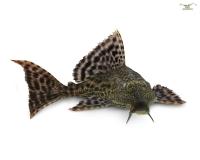 Wabenschilderwels - Glyptoperichthys gibbiceps - L165