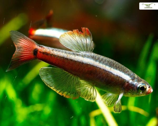 """Kardinalfisch """"Schleier"""" - Tanichthys albonubes """"Long fin"""""""
