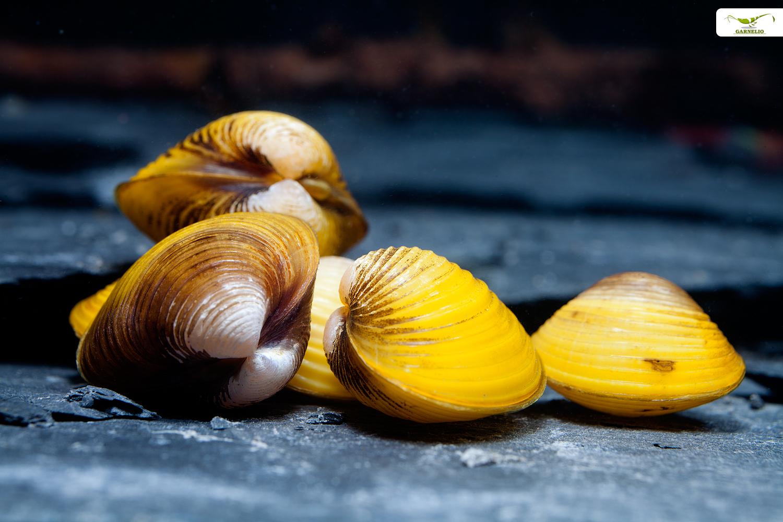 Muschel im Muschelaquarium