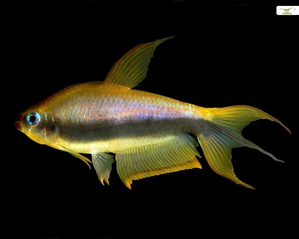 "Goldener Kaisertetra EU-NZ - Nematobrycon palmeri ""gold"""