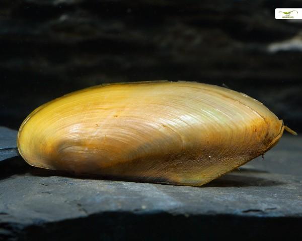 Tropische Süßwassermuschel, Pilsbryconcha exilis