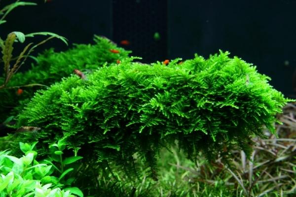 1-2-GROW! Christmas Moss / Vesicularia dubyana 'Christmas'